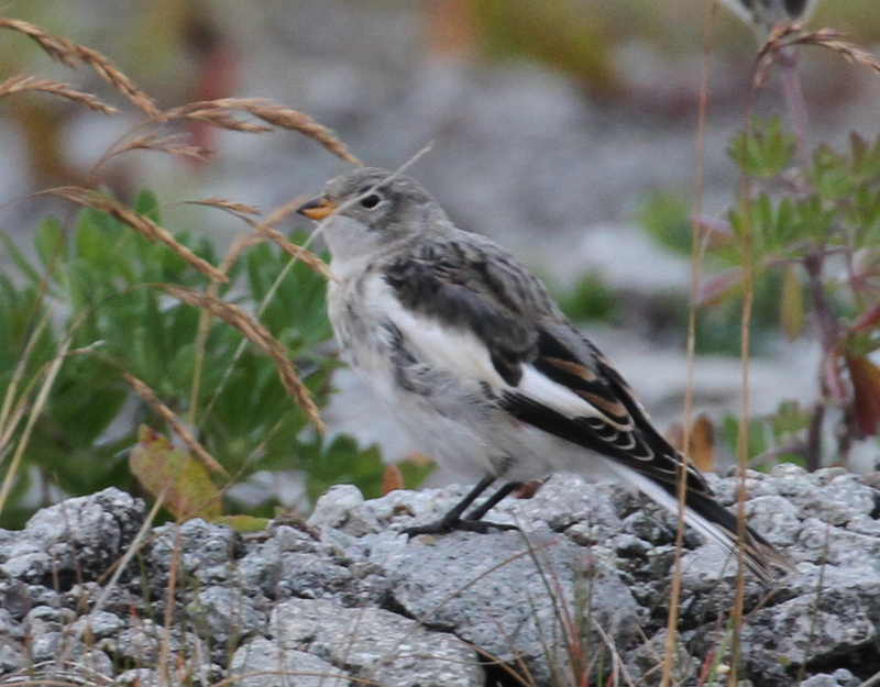 Snow Bunting, Sweeper Cove, Sept 19, 2015.