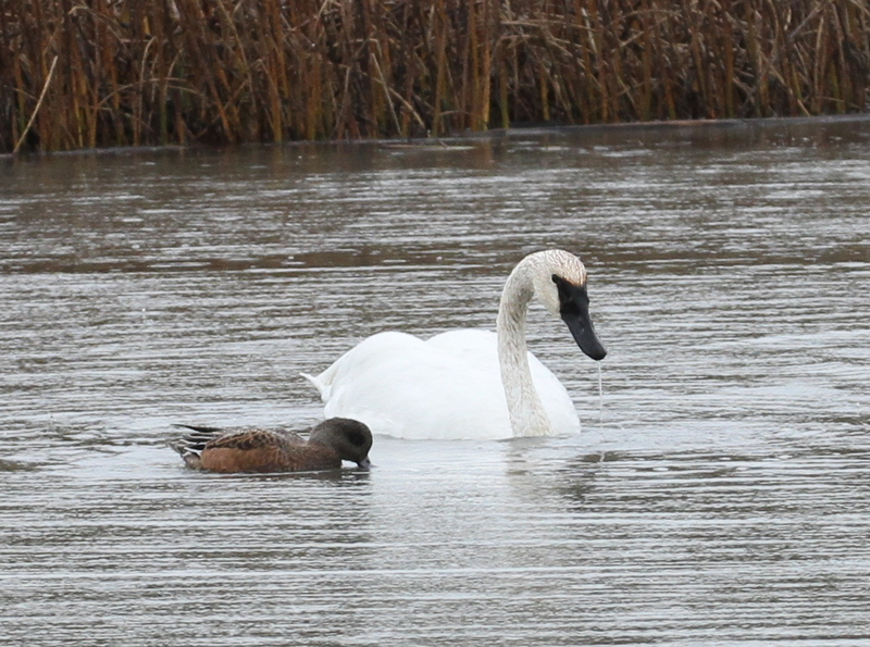 Trumpeter Swan and American Wigeon, Potters Marsh, Anchorage, Sept 17, 2015.