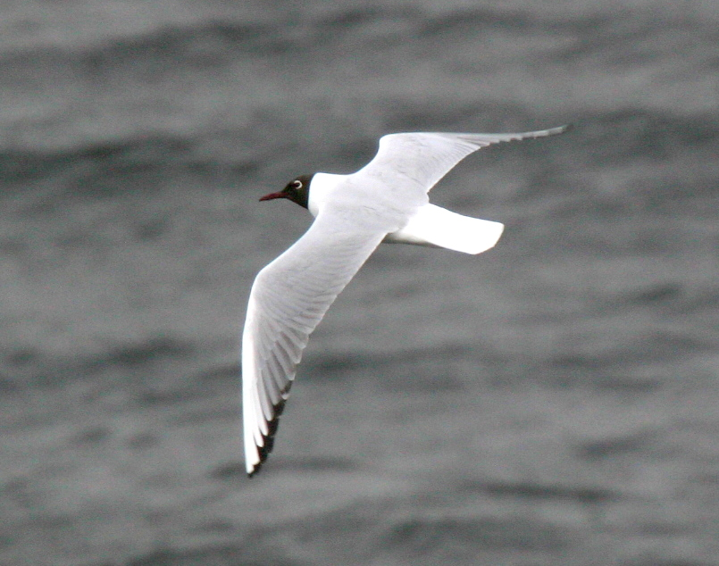 Black-headed Gull, May 23, 2007, Kuluk Bay.