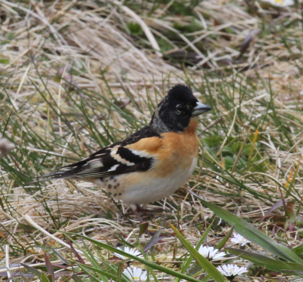 Brambling, May 26, 2011. Adak National Forest.