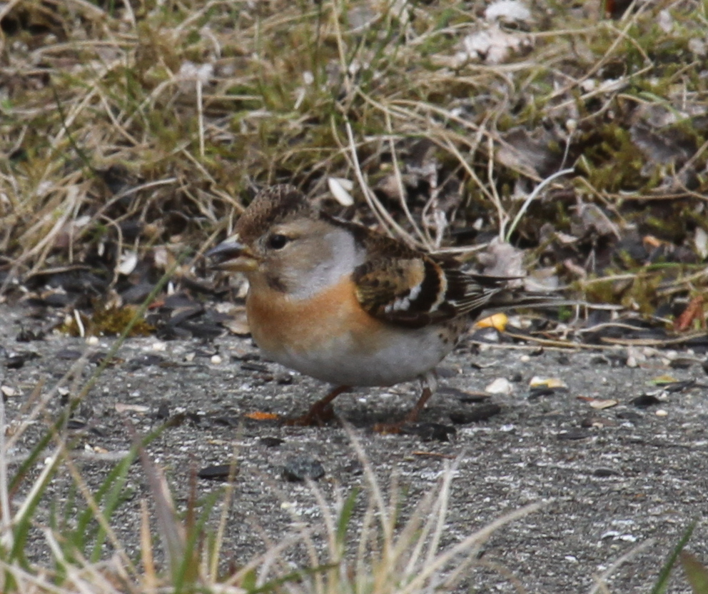 Brambling, May 26, 2011. Naval Admin Bldg Feeder.