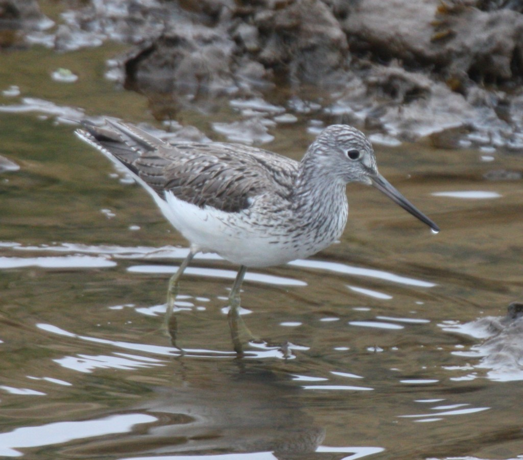 Common Greenshank, June 1, 2008, Sweeper Channel.