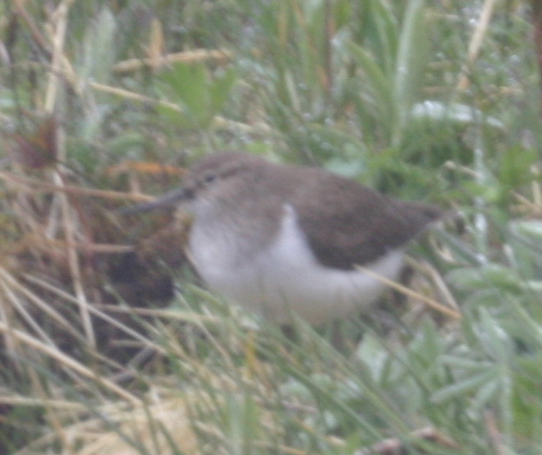Common Sandpiper, May 25, 2005, Finger Creek.