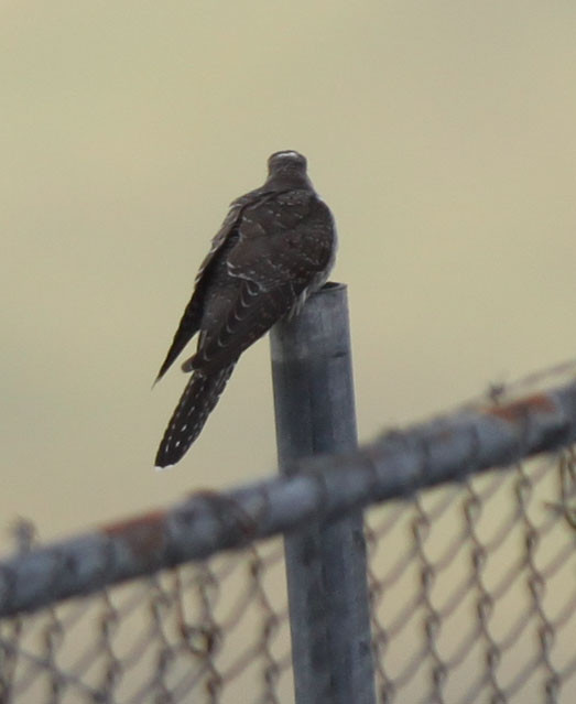 Common Cuckoo, Sept 18, 2009, near Seawall.