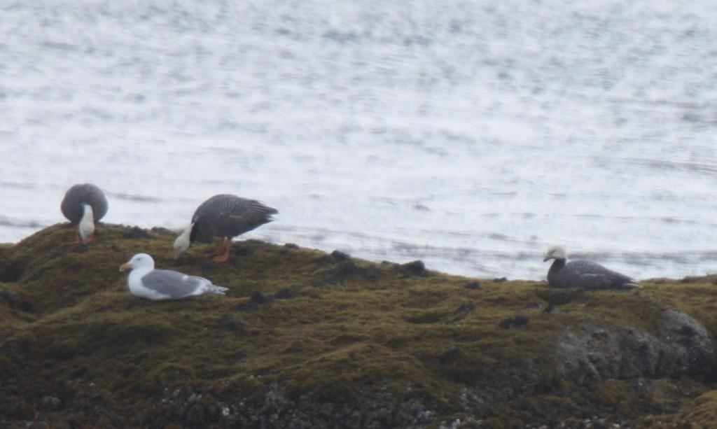Emperor Geese, June 4, 2008, Goose Rocks.