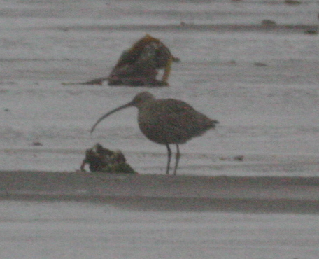 Far Eastern Curlew. May 24, 2005, Clam Lagoon.