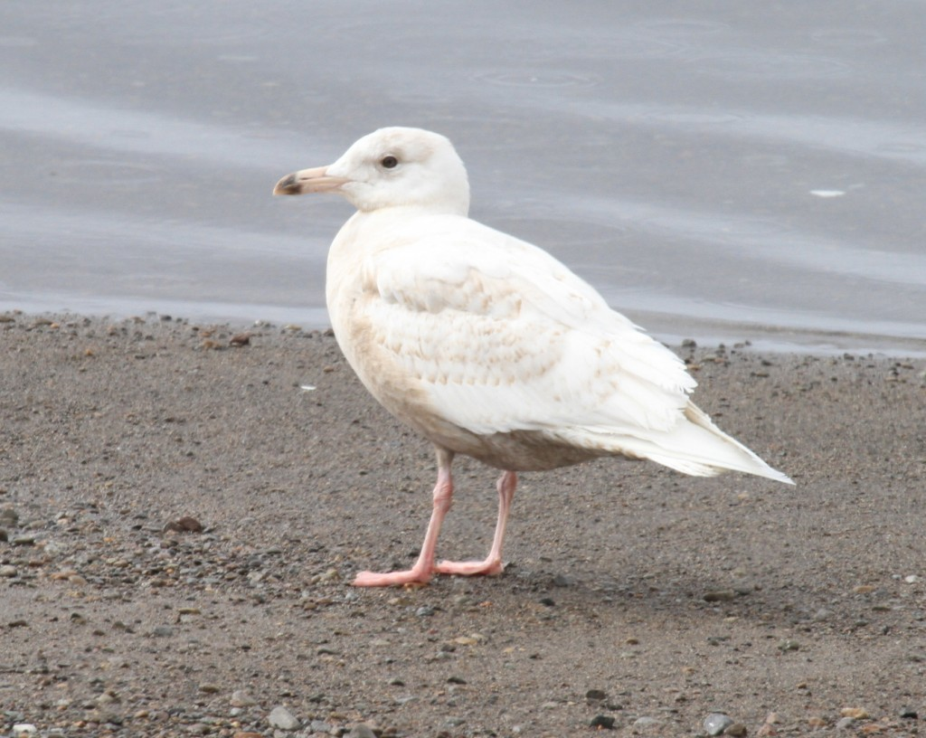 Glaucous Gull, May 16, 2011, Clam Lagoon.