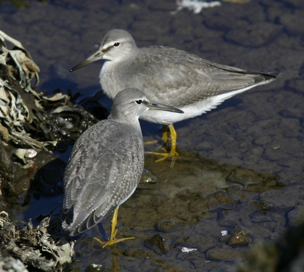 Gray-tailed Tattlers, Sept 20, 2007, Clam Lagoon.