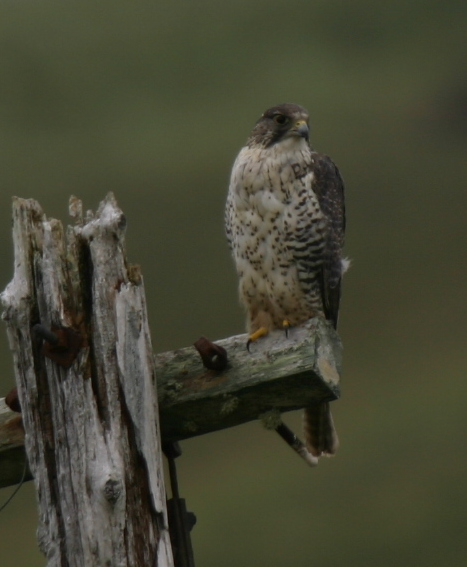Gyrfalcon, May 12, 2006, on road to Loran Station