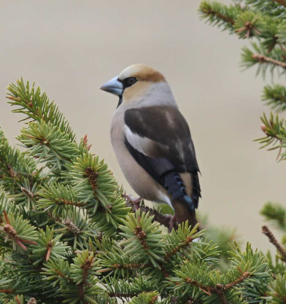 Hawfinch, May 20, 2011, Blue Building Feeder.