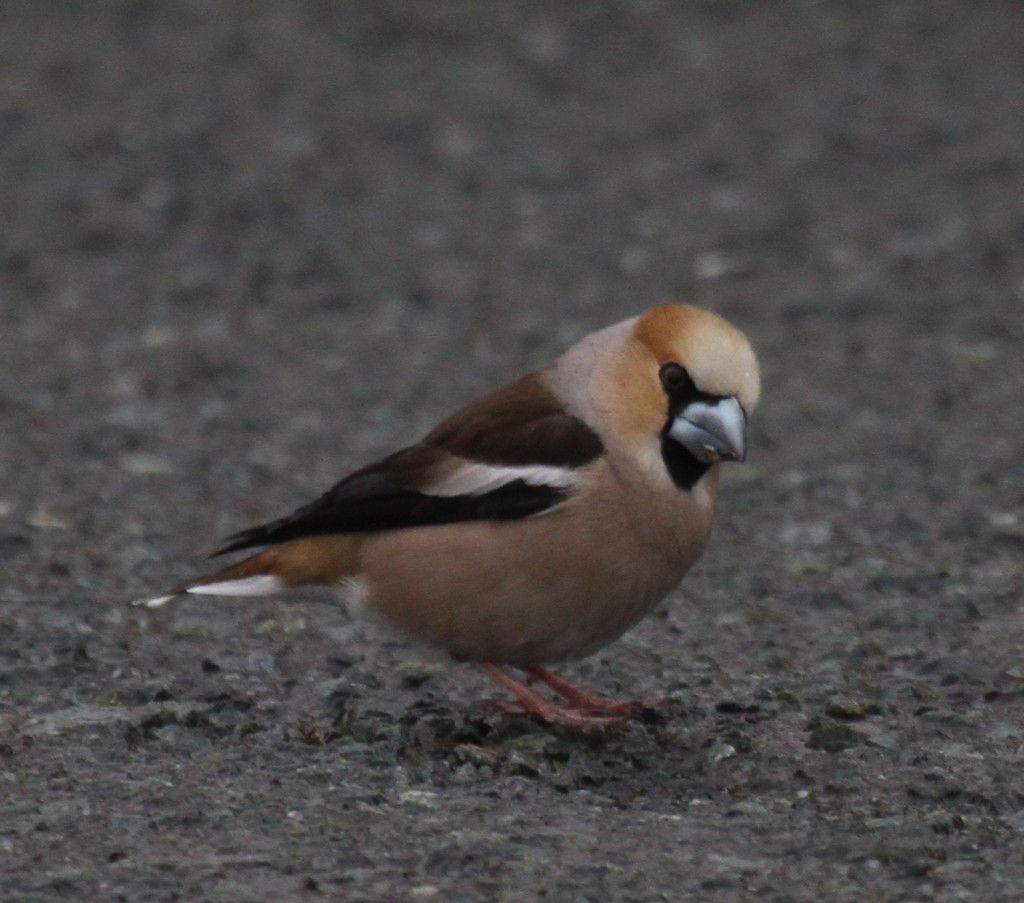 Hawfinch, May 26, 2011, Naval Admin Bldg Feeder.