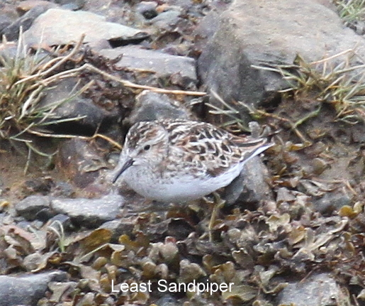 Least Sandpiper, May 20, 2010, Sweeper Channel.