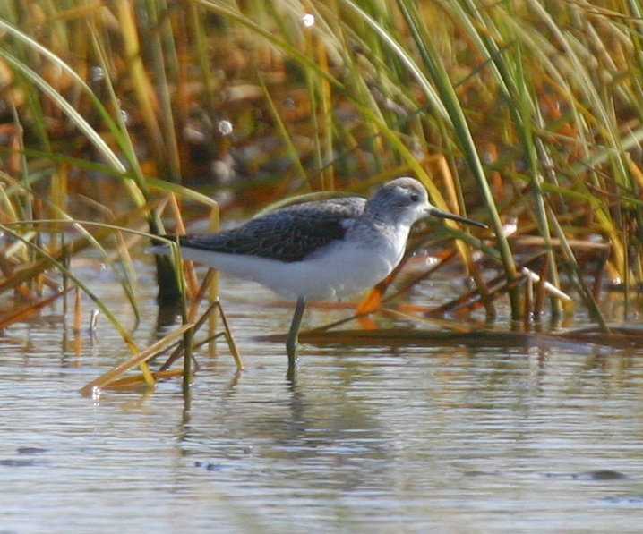 Marsh Sandpiper, Sept 24, 2007, Clam Lagoon.