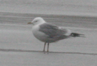 Mew Gull, May 25, 2005, Clam Lagoon.