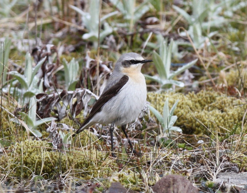 Northern Wheatear, June 2, 2008, Blue Building Feeder area.
