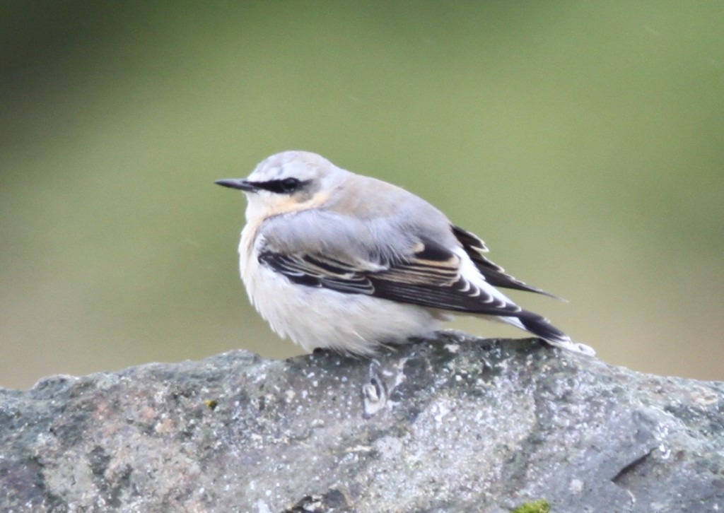 Northern Wheatear, Sept 21, 2009, near Elfin Forest.