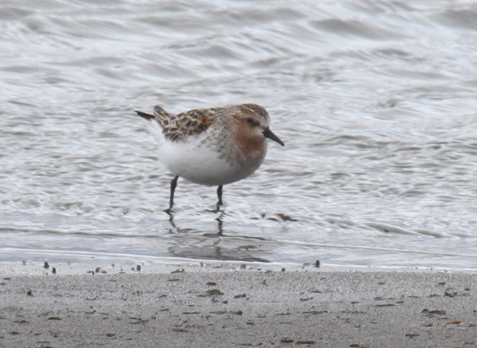 Red-necked Stint, May 25, 2011, Clam Lagoon.