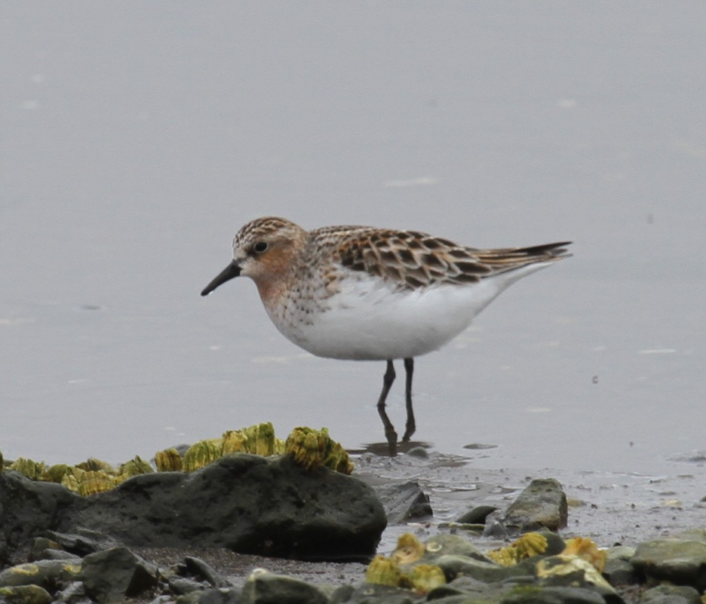 Red-necked Stint, May 27, 2011, Clam Lagoon.