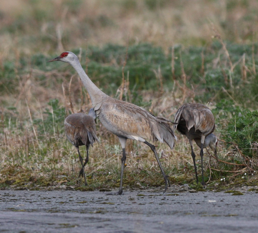 Sandhill Cranes, June 4, 2008, just west of Sweeper Cove.