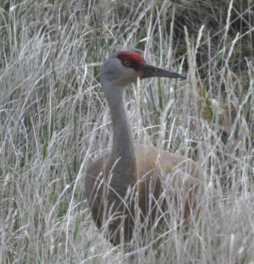 Sandhill Crane, May 29, 2005, near Airport Ponds.