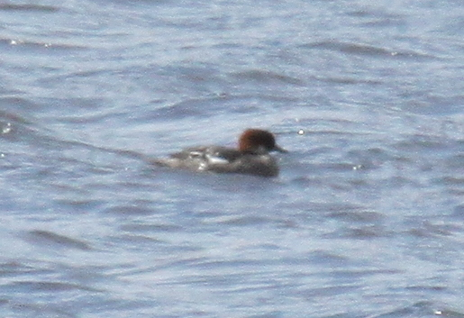 Smew, May 18, 2010, Shotgun Lake.