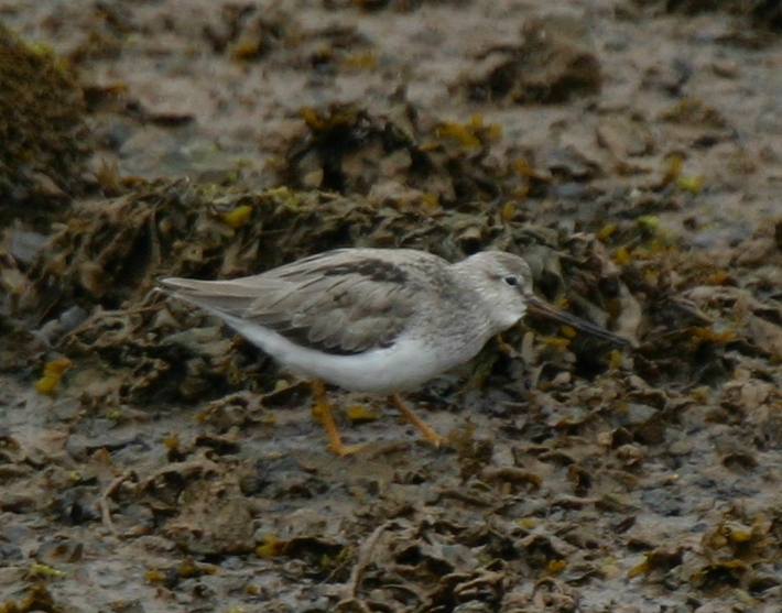 Terek Sandpiper, May 30, 2007, Sweeper Channel.