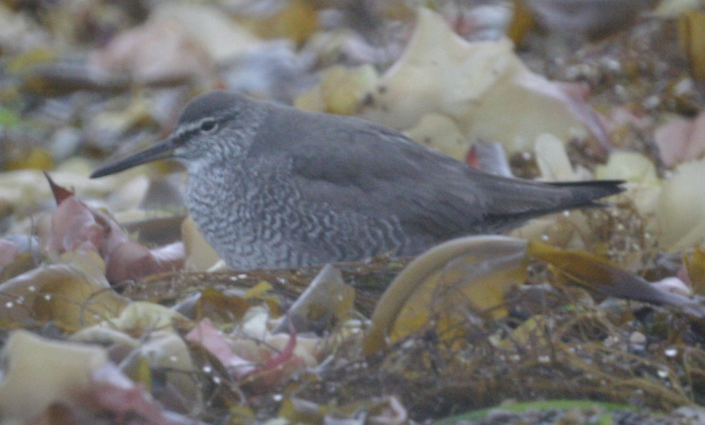 Wandering Tattler, May 24, 2005, Clam Lagoon.