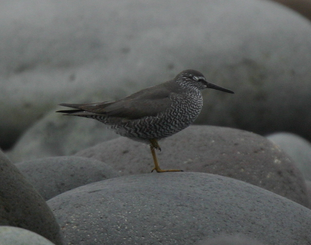 Wandering Tattler, May 19, 2007, Seawall.