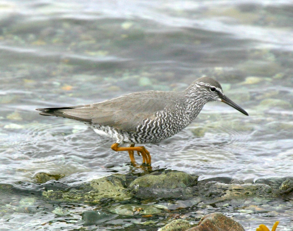 Wandering Tattler, May 29, 2007, Clam Lagoon.