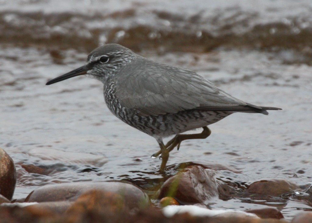 Wandering Tattler, May 30, 2008, Clam Lagoon.