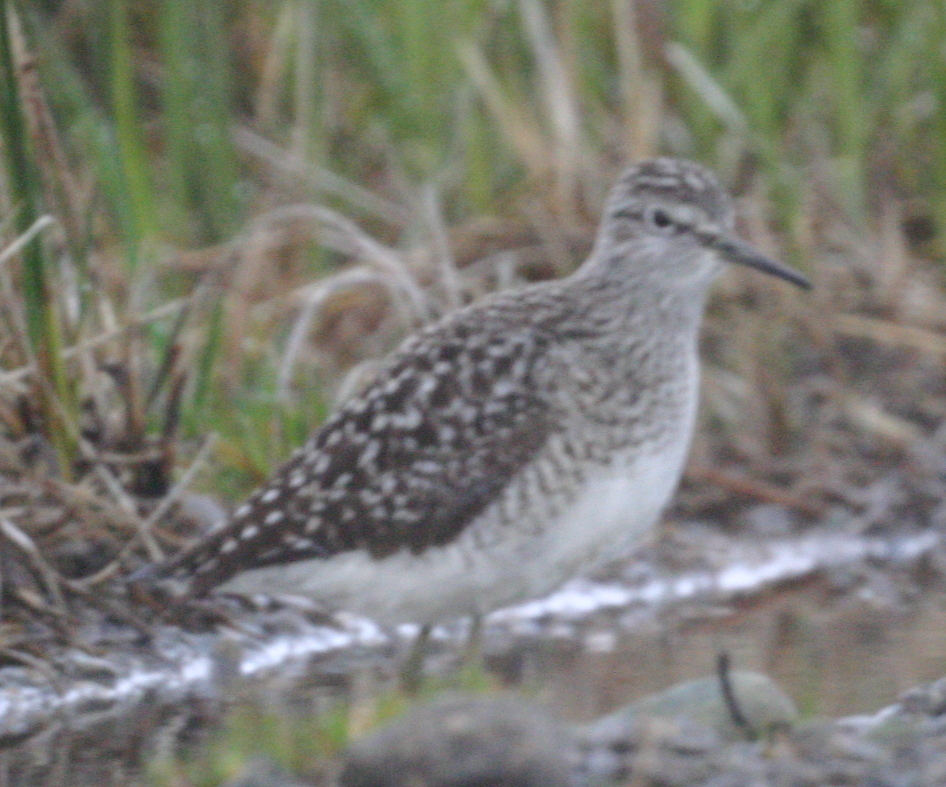 Wood Sandpiper, May 24, 2005, Contractor's Camp Marsh.