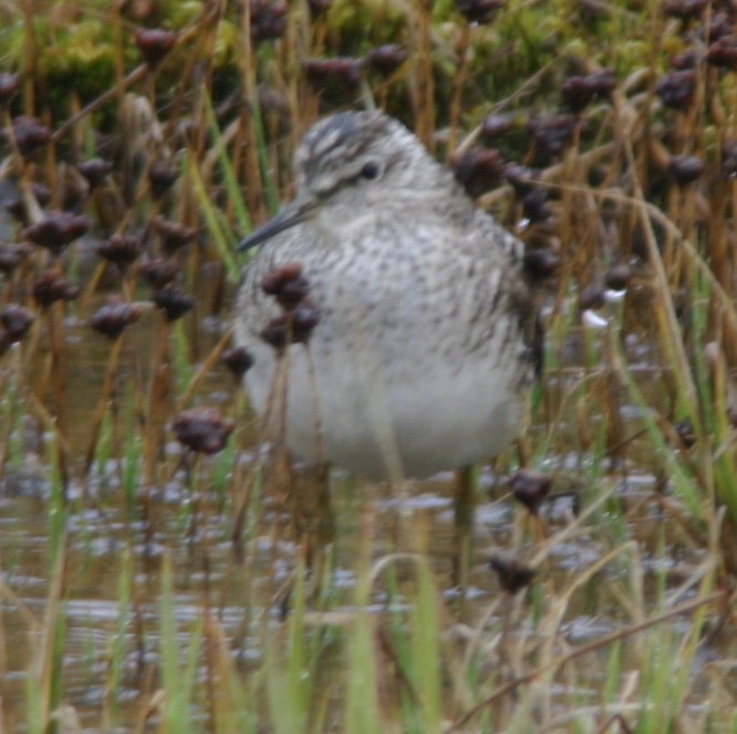 Wood Sandpiper, May 28, 2005, Contractor's Camp Marsh.