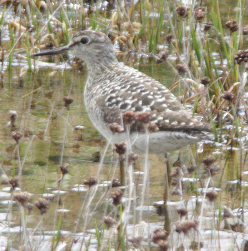 Wood Sandpiper, May 29, 2005, Contractor's Camp Marsh.