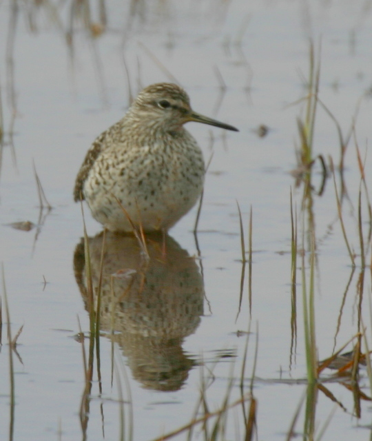 Wood Sandpiper, May 18, 2007, Contractor's Camp Marsh.
