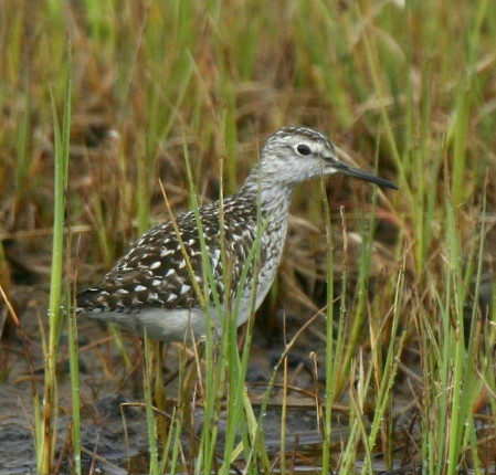 Wood Sandpiper, May 28, 2007, Contractor's Camp Marsh.