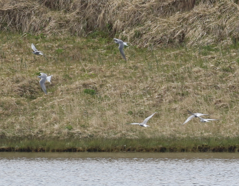 Aleutian Terns coming in to bathe at Lake Shirley, May 28, 2016