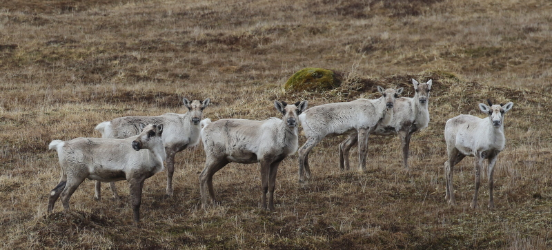 Caribou, Bering Hill, May 15, 2016