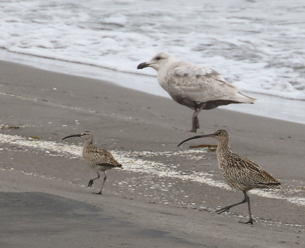 """Siberian"" Whimbrel, Far Eastern Curlew, and Glaucous-winged Gull Landing Lights Beach, May 29, 2016"