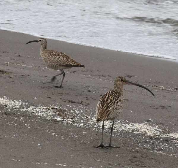 """Siberian"" Whimbrel and Far Eastern Curlew, Landing Lights Beach, May 29, 2016"