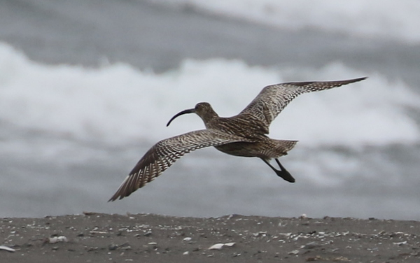 Far Eastern Curlew, Landing Lights Beach, May 29, 2016
