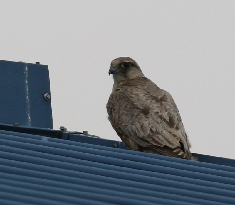 Gyrfalcon, Blue Building, May 18, 2016