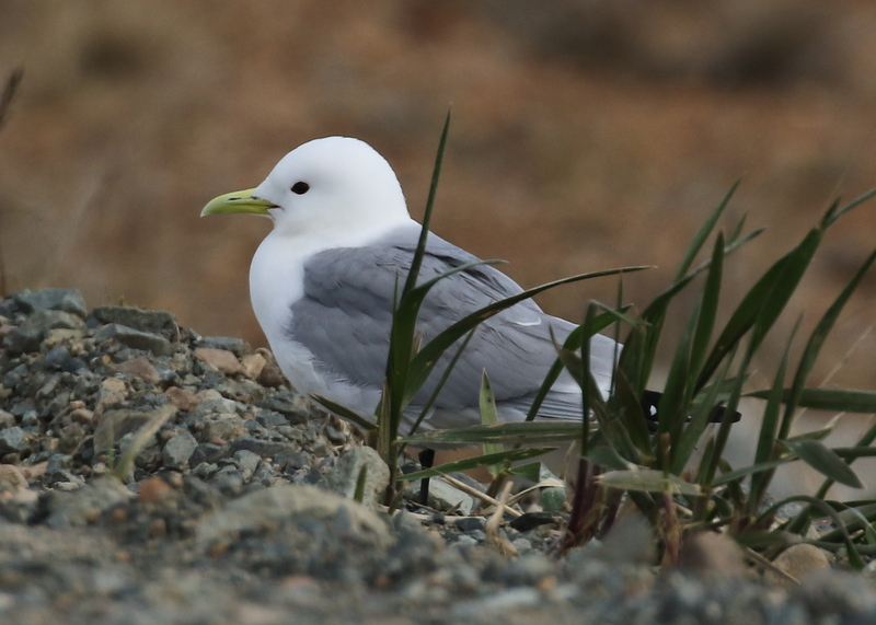 Black-legged Kittiwake, Andrew Lake, May 17, 2016