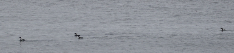 Pacific Loons, Seawall, May 27, 2016