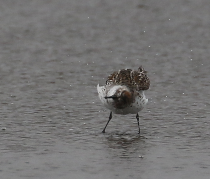 Western Sandpiper, Clam Lagoon, May 25, 2016