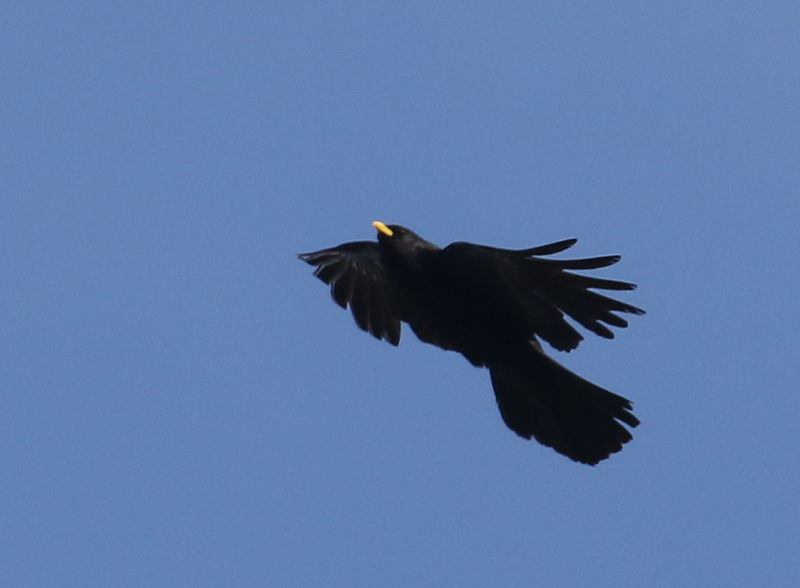Alpine Chough, Leuk, Switzerland, June 26, 2016