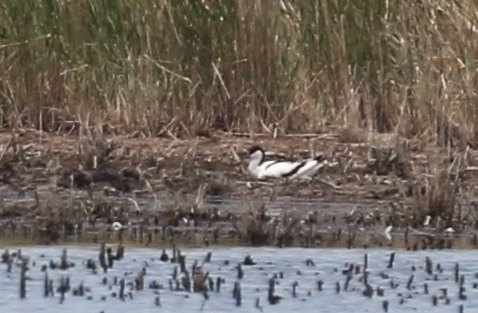 Avocet, Camargue, France, June 21, 2016