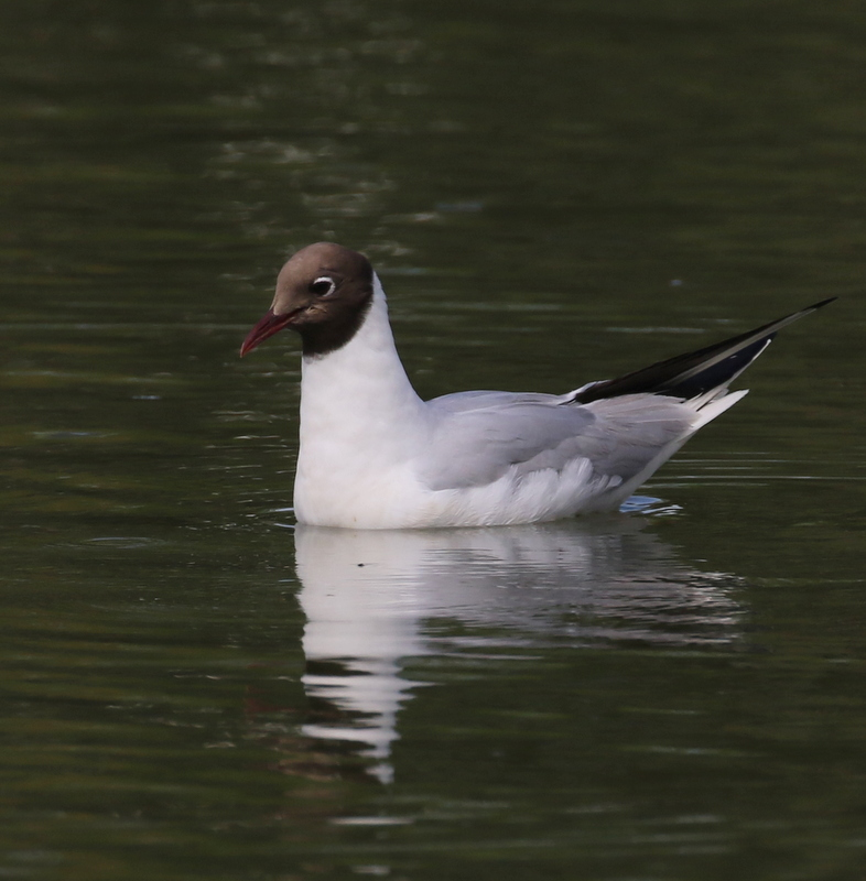 Black-headed Gull, The Dombes, France, June 25, 2016