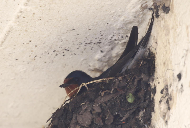 Barn Swallow, Twann, June 18, 2016