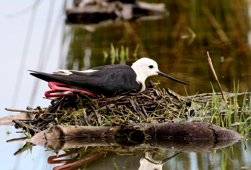 Black-winged Stilt, Camargue, France, June 21, 2016