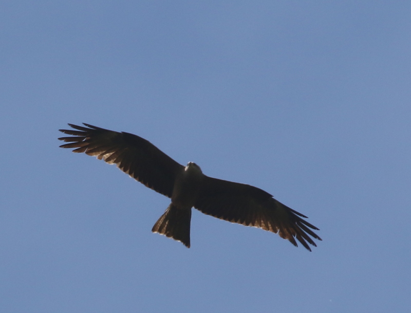 Black Kite, Auried at Kleinbosingen, June 18, 2016